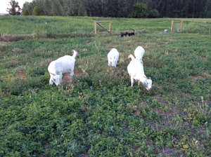 Beautiful goats grazing on a freshly swathed field.